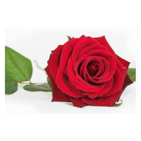 Ruža 10ml