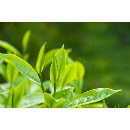 Tea tree oil 200 ml