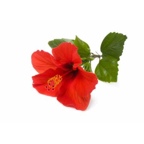 Ibištek + ruža - parfumová kompozícia 10ml